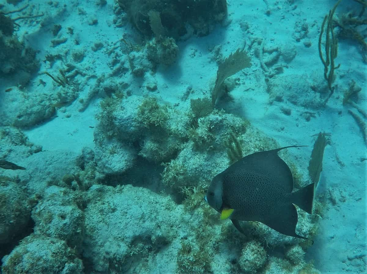 Black Angle Fish