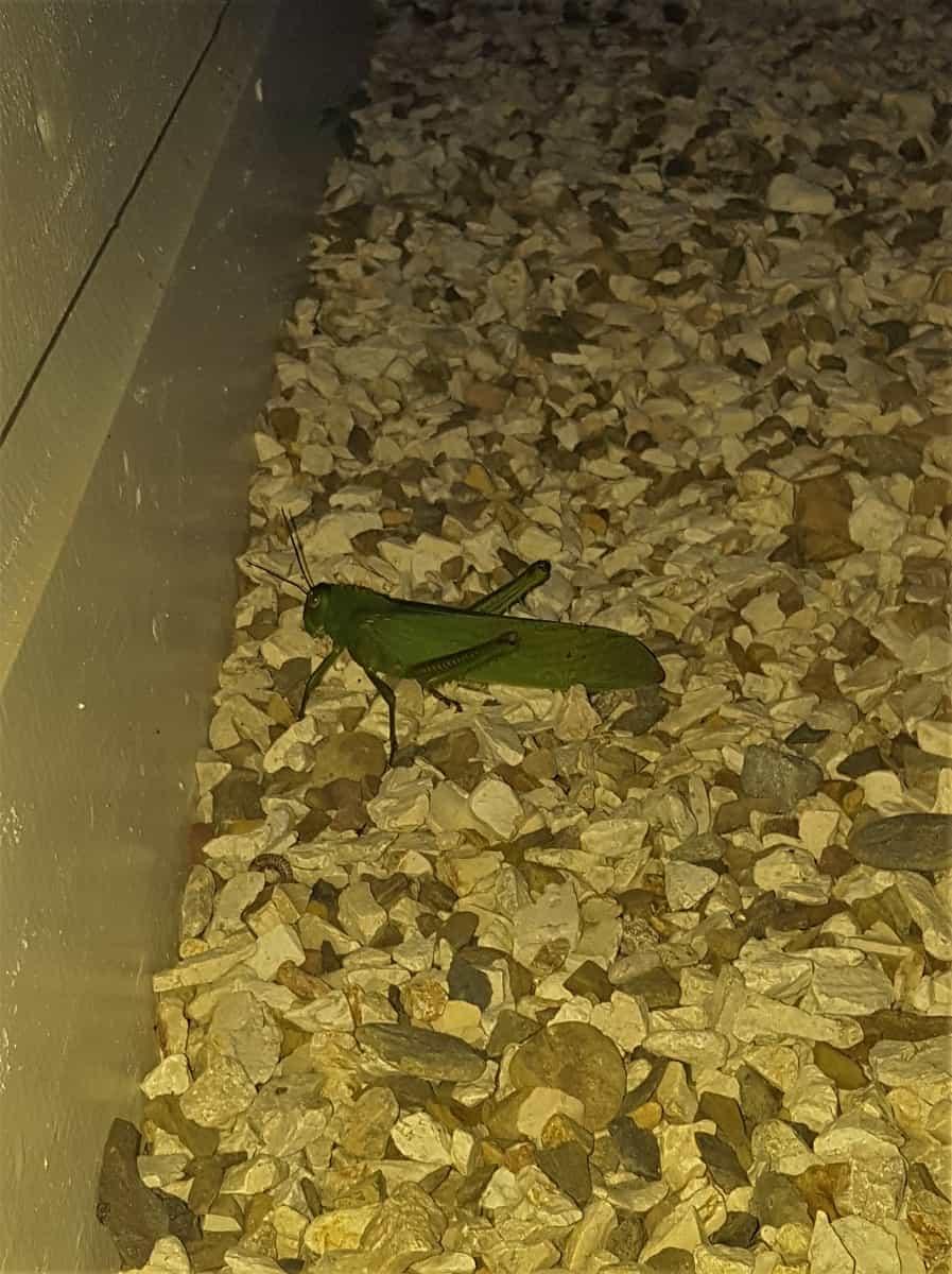 Giant Grasshopper!!