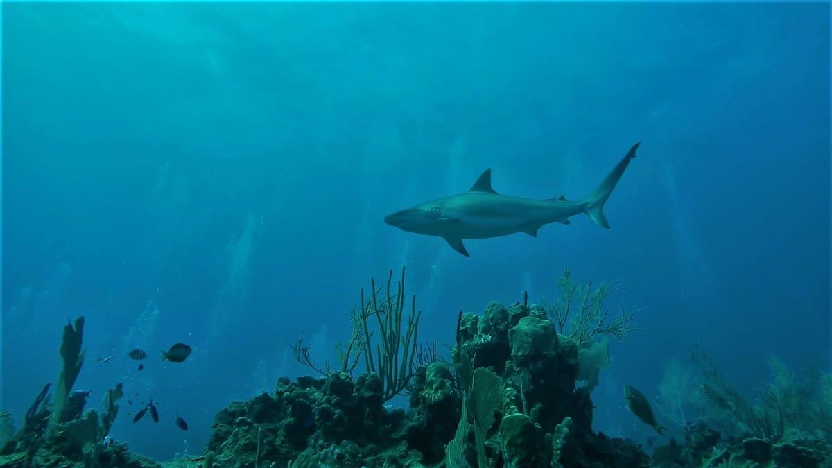Caribbean Reef Shark