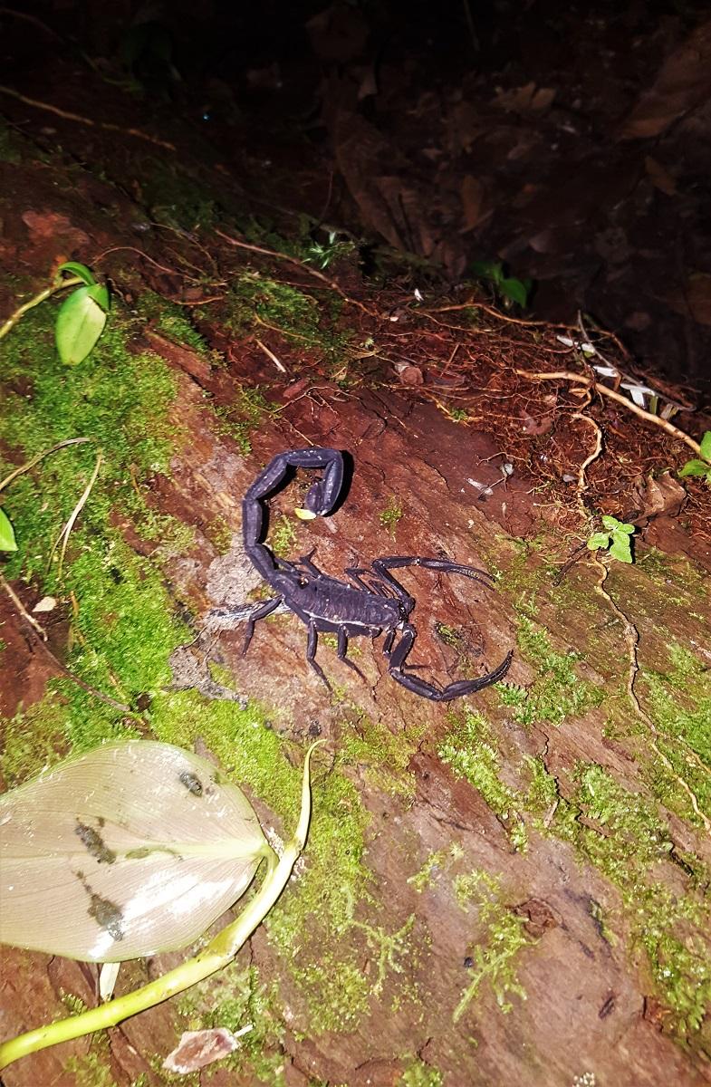 Amazon Jungle Scorpion