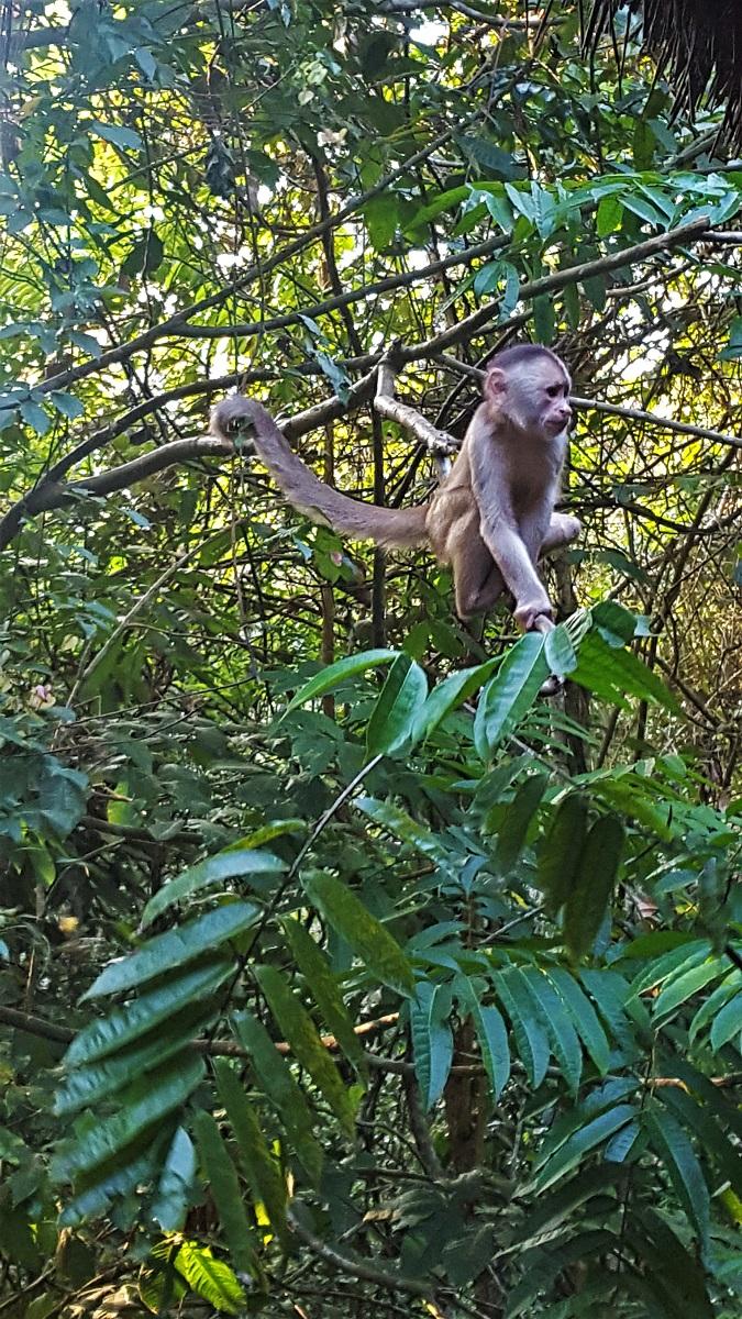 Amazon Jungle Monkey