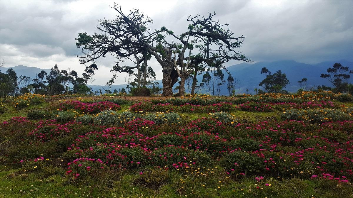 Otavalo Sacred Tree