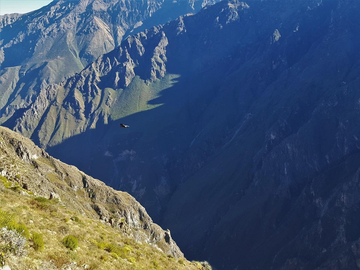 Colca Canyon Condor